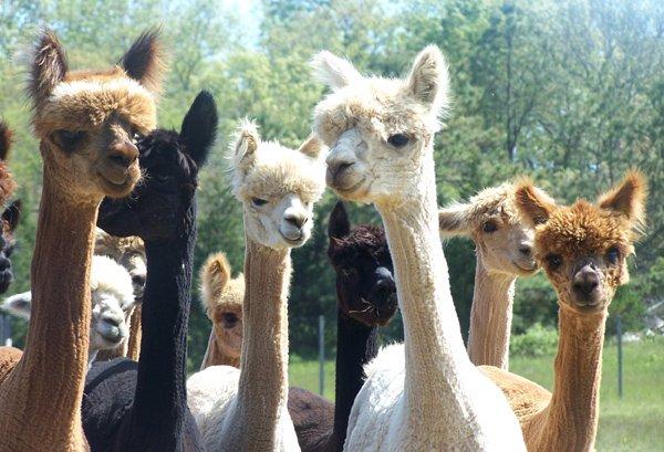 Newly-shorn-island-alpaca